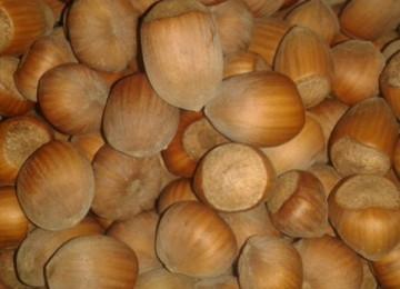 Lesnik sadnica - Istarski okrugli